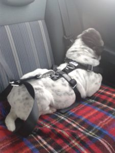 Kingston Welpe Anschnallgurt Shar Pei Kleinmetall Hundegurt
