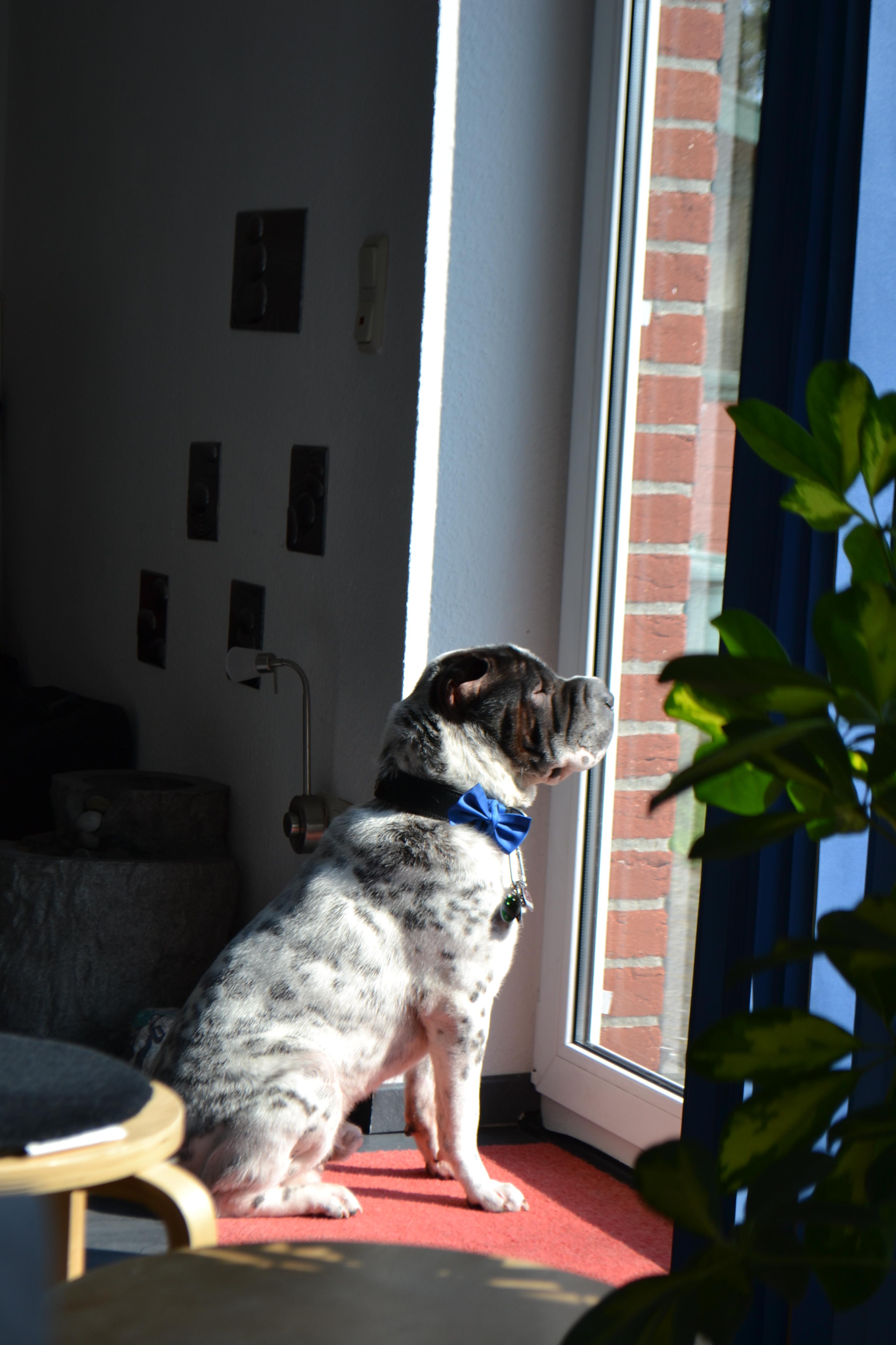 Shar Pei/ Hund Kingston mit Fliege fein angezogen