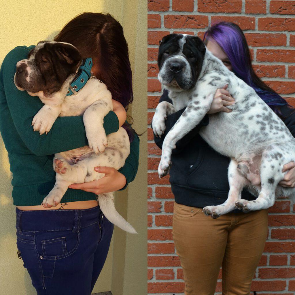 Hsar Pei Hund Kingston klein und groß mit Malou