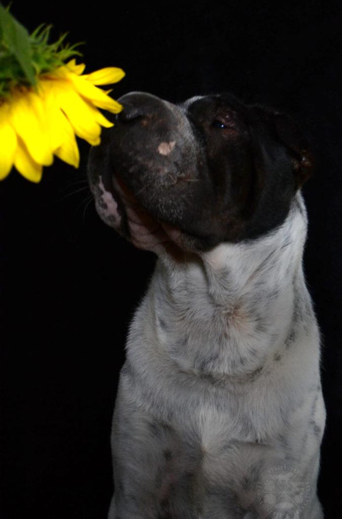 Kommando Trick beibringen Schnueffeln Schnuppern Hund Fotografie Shar Pei Malous mannigfaltige Welt Blume Sonnenblume gegen Angst