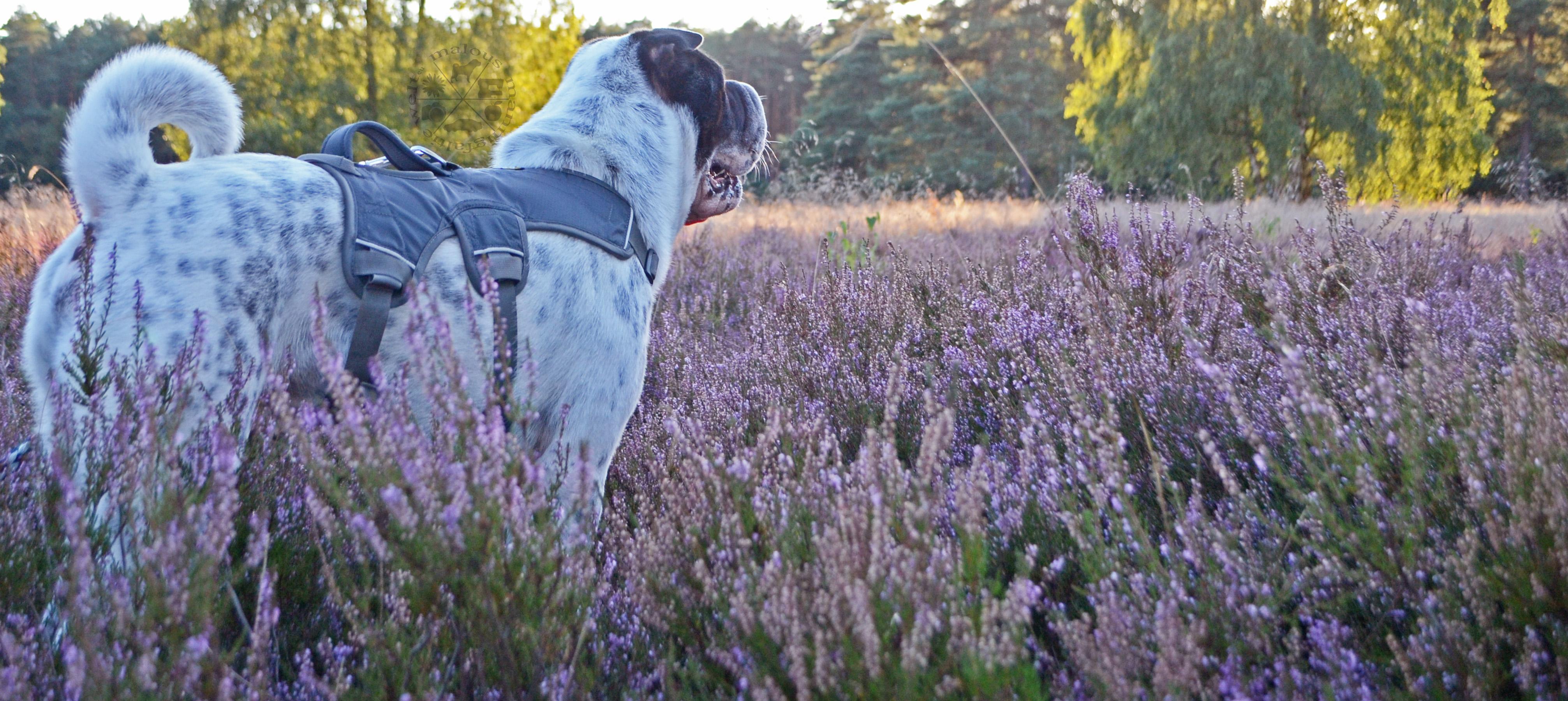 Ausflug Heide Hund Shar Pei Kingston Blogbeitrag Hundeblog Blog schöner Ausflug guter Wanderung Tierpark Zoo Bedürnisse Anforderung