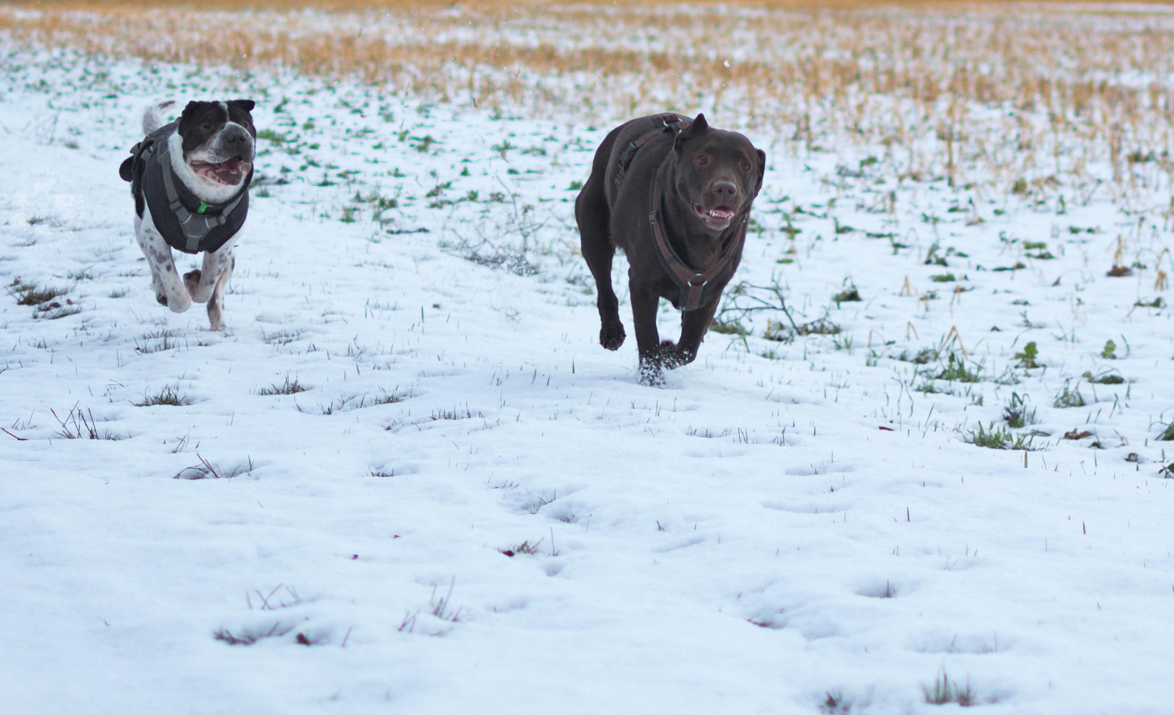 Kingston Eddie Labrador Shar Pei Tagebuch spielen Walzer Hund Hunde Hundeblog Blog Malous Rabaukenbande Wolters Ruffwear Retriever Erziehung Kommunkation MMW Insta Facebook rennen Schnee