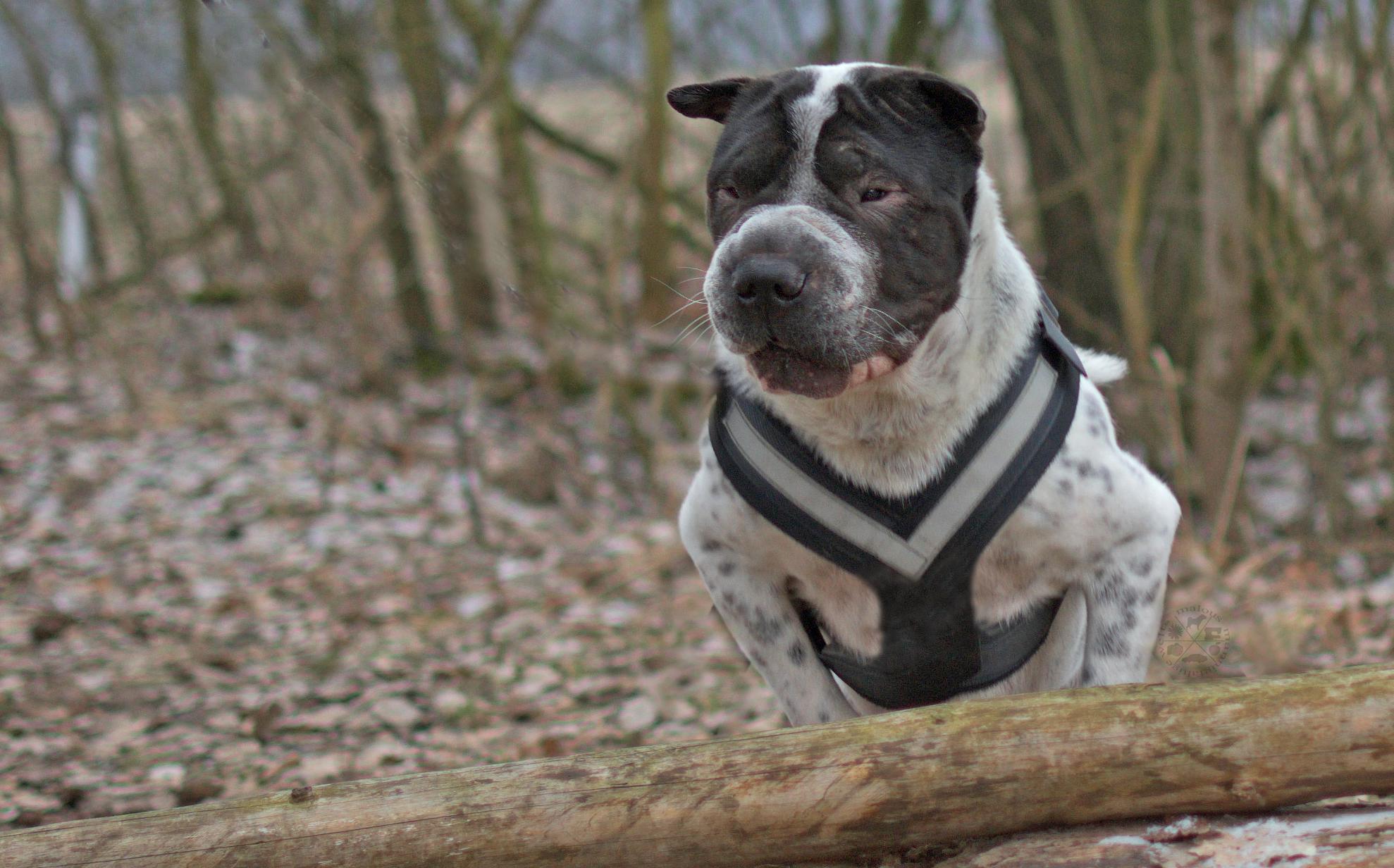 Kommunkation Gerede Ohr Ohren Hund Hunde Blog Hundeblog Shar Pei spiel, Sprung Wald rabaukenbande Kingston Verständigung Falten kommunizieren Mimik Gestik