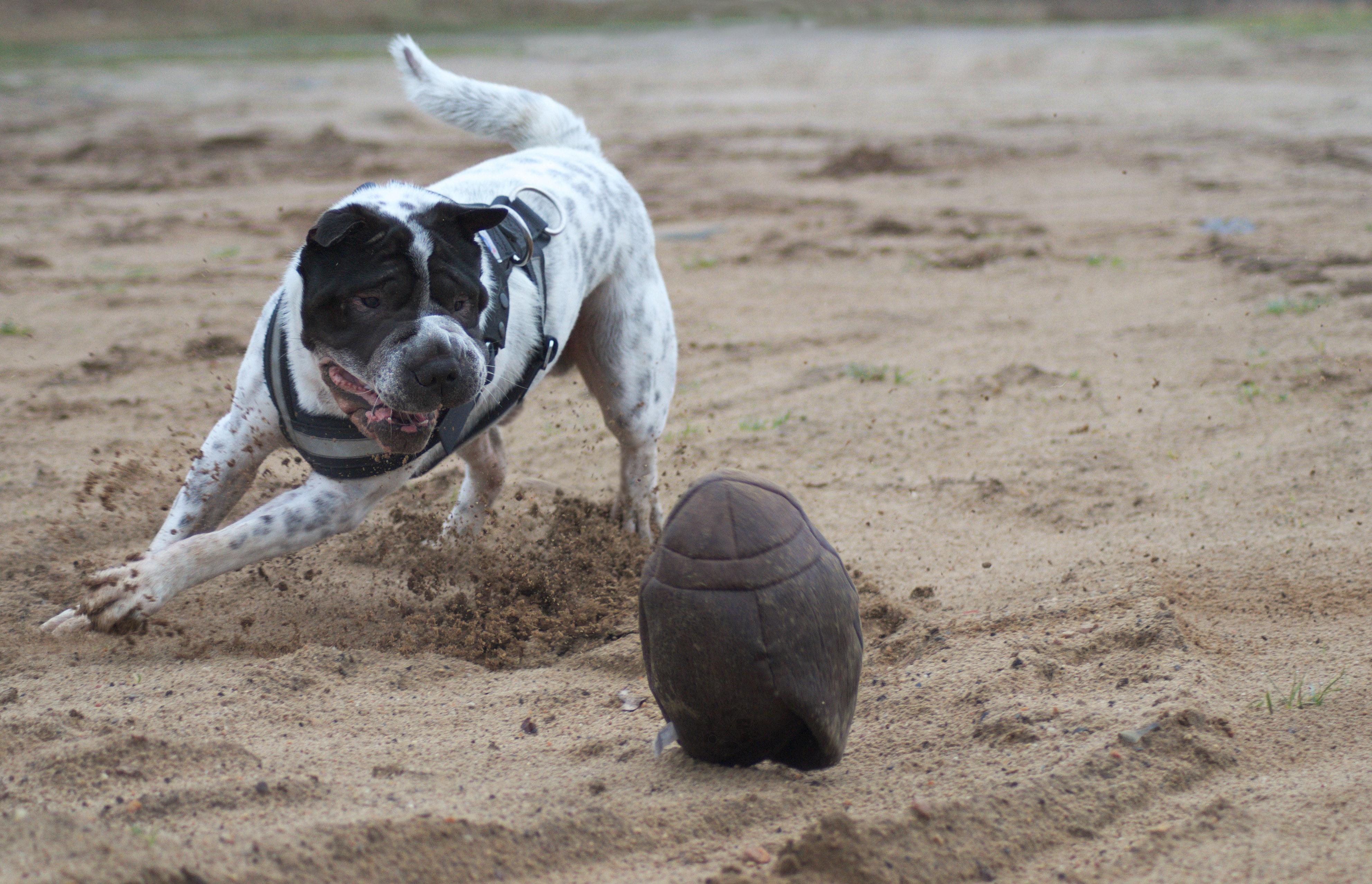 Kingston Rugby Vintage Lixit Test Ball Produkttest Hund Hundeblog Blog Shar Pei Hunde Malous mannigfaltige Welt Rabaukenbande Kingston Spielzeug Meinung Fazit Kauf Tierspielzeug Sand Fotografie