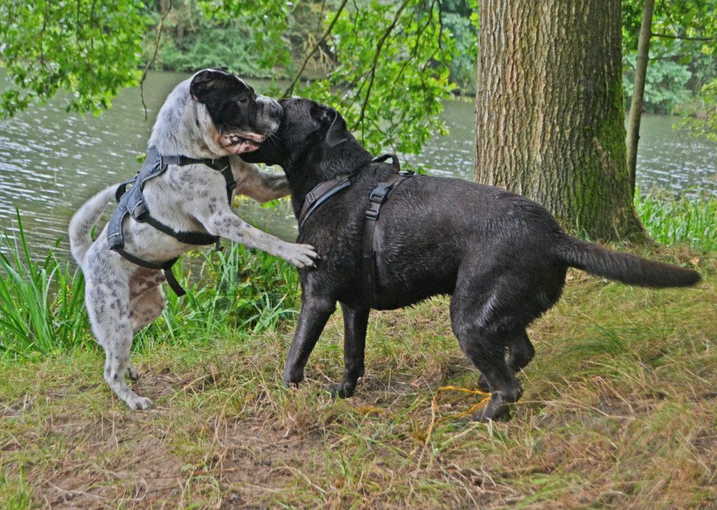 Bestbuddy bester Freund Zweithund Zweithundsuche Zweithundwahl Hund adoptieren kaufen Shar Pei Labrador Spiel spielen Grundsätze Ausgangssituation