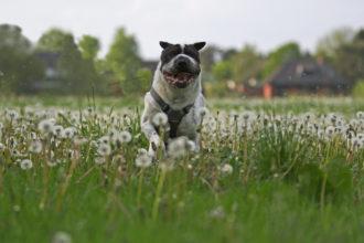 Kingston Tagebuch Action hund Hundeblog Shar Pei Fotografie Shooting Igel Blog Hundefotografie Spaß Joggen Hundeleben Leben mit Hund Malous Rabaukenbande