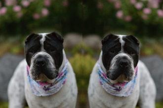 Halstuch Tagebuch Hund Sharpei Hundeblog Tierblog Tiere Hunde Gedanken Leben Alltag Snapchat flowered Gefühle Aktivitäten Ruhe Kingston Malous Rabaukenbande Shooting doppelt