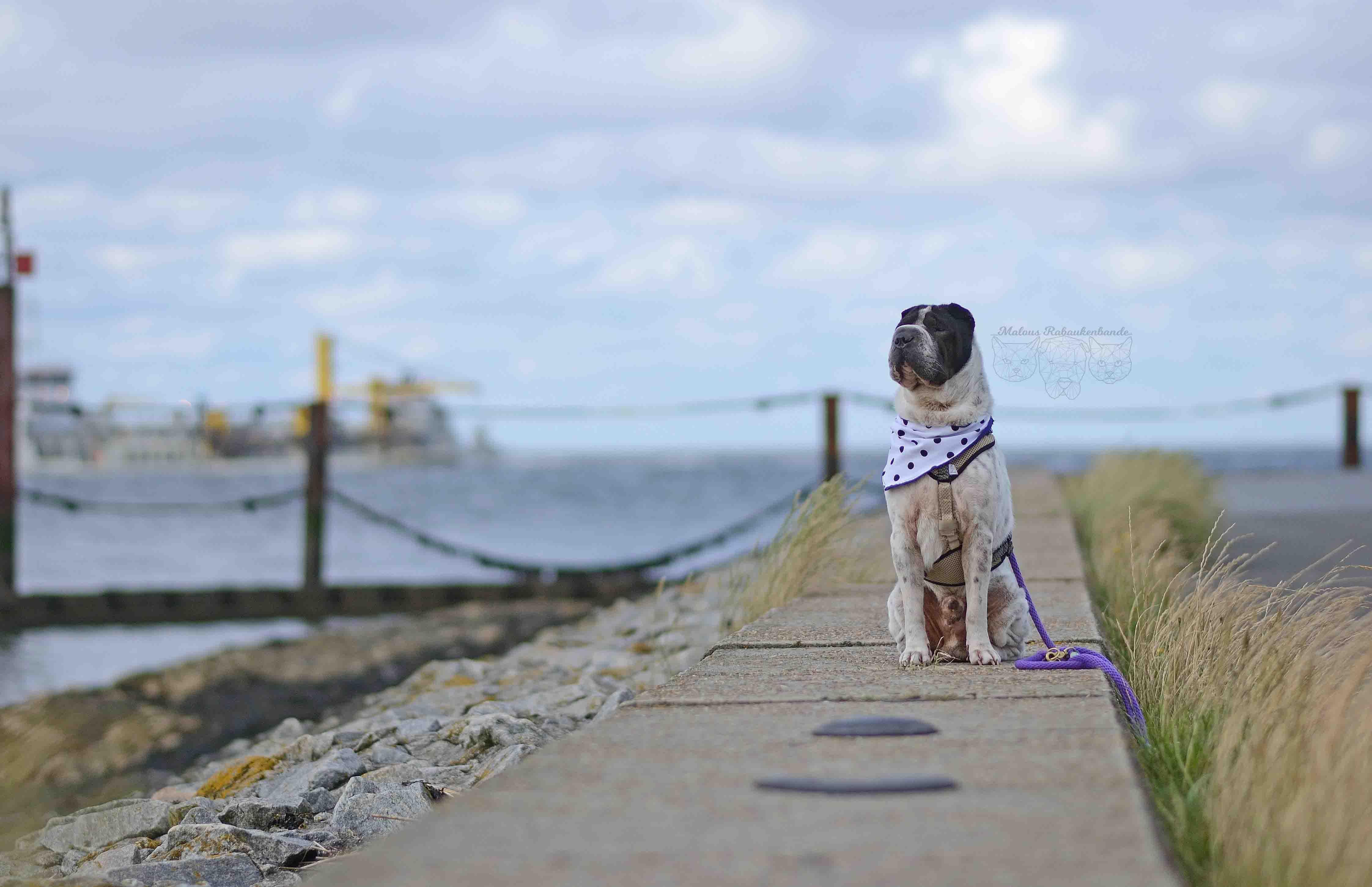 Kingston a Cuxhaven Hunde Hund Strand blog Rabaukenbande Schloss Urlaub Meinung Fazit Bewertung Nordsee Shar Pei Teich Watt Meer Park Fotografie Hafen Alte Liebe Sahlenburg Familie