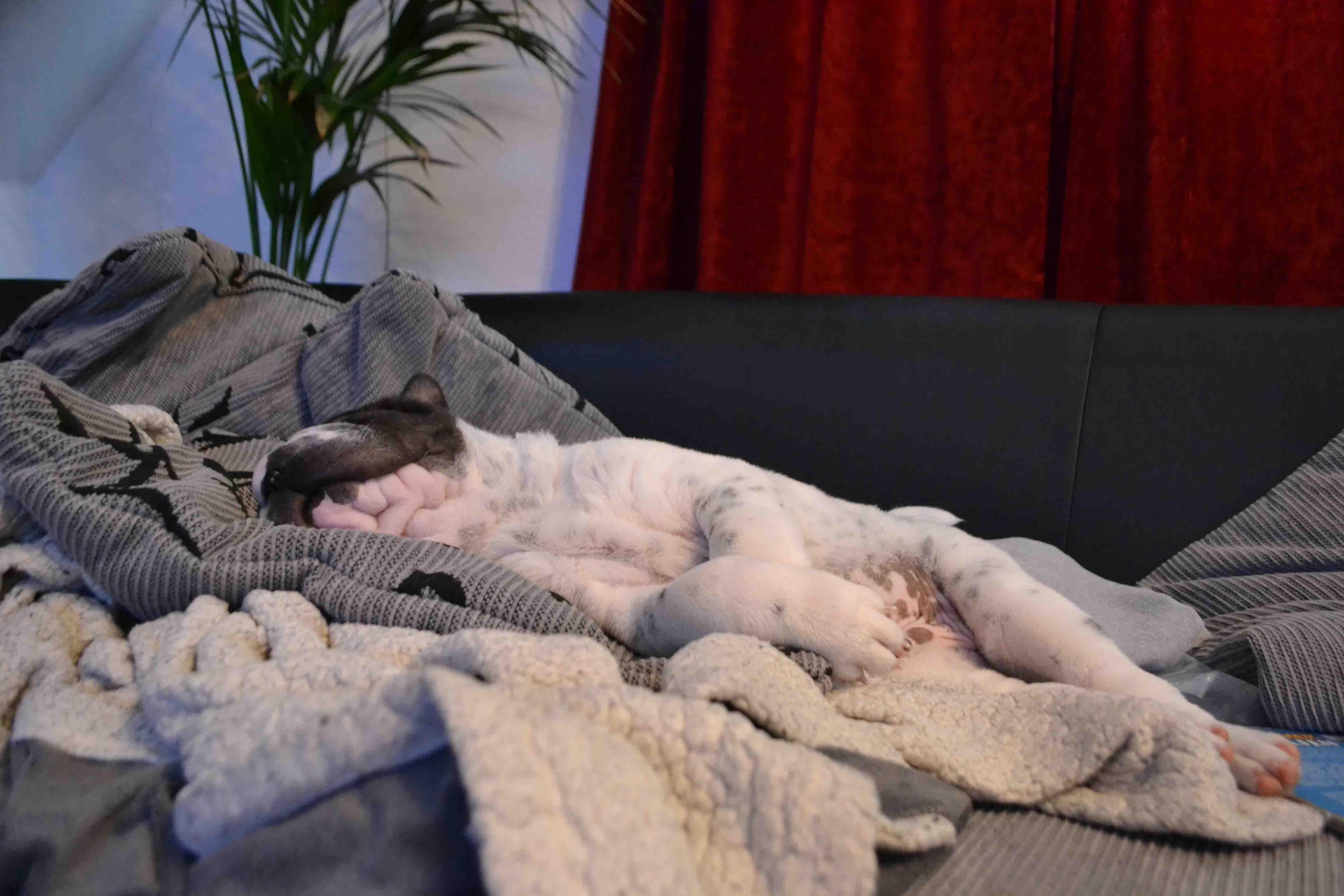 Rabaukenbande Hund Katze Hund Blog Kater Tier Tiere Erfahrung Urlaub Spiele Erziehung Training Shar Pei Futter Gesundheit dog welpe schlafen zucker schock