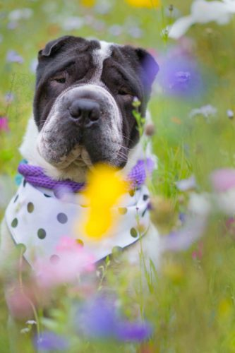 Rabaukenbande Hund Hundeblog Tierblog ehrlich pet dog blog Tagebuch Shar Pei Kingston Alltag Leben Fotografie