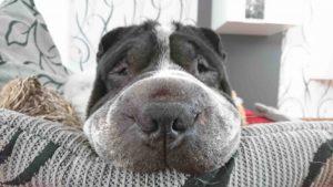 Rabaukenbande Hund Hundeblog Tierblog ehrlich pet dog blog Tagebuch Shar Pei Kingston Alltag Leben Fotografie schlafen schnauze