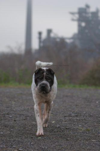 Dezember Tagebuch Hundeblog Hund Shar Pei Kingston Rabaukenbande Industrie Landschaftspark Duisburg Nord