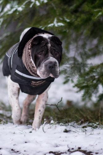 Dezember Tagebuch Hundeblog Hund Shar Pei Kingston Rabaukenbande Schnee Wald Kleidung Jacke