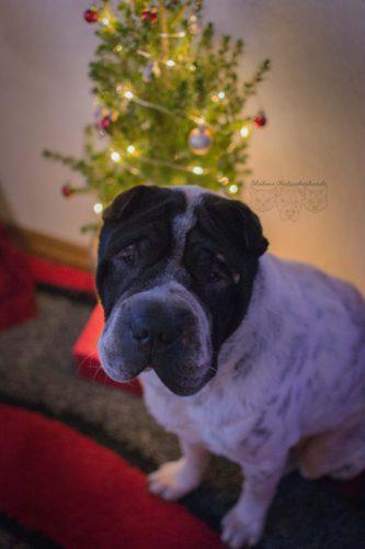 Dezember Tagebuch Hundeblog Hund Shar Pei Kingston Rabaukenbande Weihnachtsbaum Weihnachten Feiertag Portraet