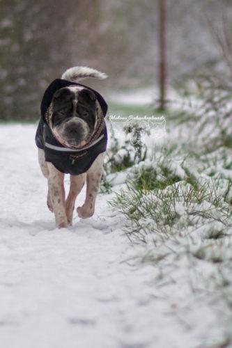 Marsch Dezember Tagebuch Hundeblog Hund Shar Pei Kingston Rabaukenbande Kleidung Jacke Mantel Schnee Winter Kaelte