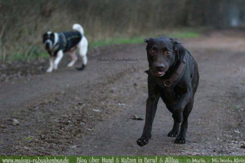 Jan18 Verletzung Hund Kater Katze Hunde Blog Shar Pei Rabaukenbande Alltag Erziehung Arbeit Labrador Wald Ausflug Winter Retriever Gesundheit