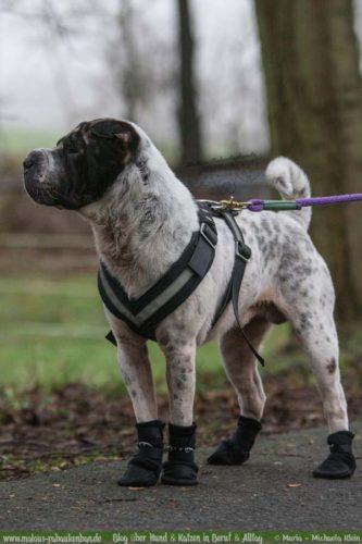 Jan18 Verletzung Hund Kater Katze Hunde Blog Shar Pei Rabaukenbande Alltag Schuhe Erziehung Nebel Wald Ausflug Winter Rundweg
