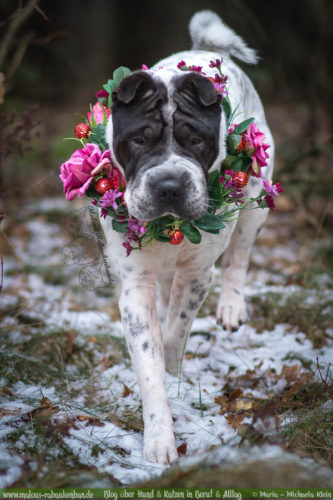 Februar Malous Rabaukenbande Shar Pei Kingston Hunde Fotografie Shooting Hund Blog Freizeit Winter Schnee Abenteuer Blumen Alltag Blumenkranz