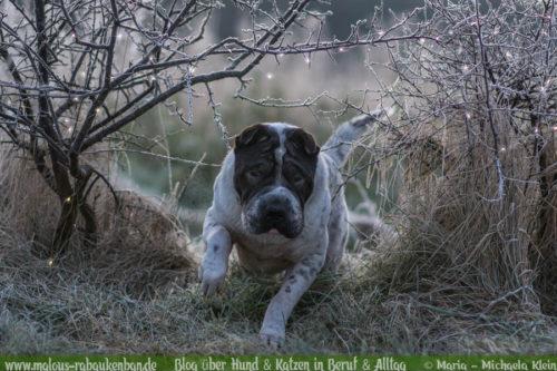 Februar Malous Rabaukenbande Shar Pei Kingston Hunde Fotografie Shooting Hund Blog Freizeit Winter Schnee Abenteuer Blumen Alltag Sonnenaufgang Frost