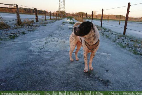 Februar Malous Rabaukenbande Shar Pei Kingston Hunde Fotografie Shooting Hund Blog Freizeit Winter Schnee Abenteuer Blumen Pfuetze Frost