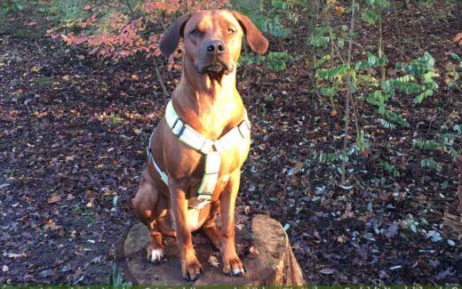 Leben eines Schulhund Reisender Hund Buerohund Berge Rassehund-Rhodesian Ridgeback Holly-Hunde Leben in Deutschland Malous Rabaukenbande Haustier Blog