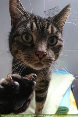 Rabaukenbande Hunde Katzen Blog Shar Pei Freizeit Arbeit Buero , Kater Entspannen Buerokatze Portraet Erziehung Tipps Erfahrung Kommunikation Wahl Katzenleben dreist