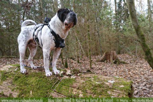 Rabaukenbande Hundeblog Katzenblog Shar Pei Freizeit Spass Arbeit Buerohund , Tagebuch 2018 Schnee Fruehling Winter Sport mit Hunden Ausfluege Go Pros Filmen