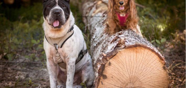 Rabaukenbande Hunde Katzen Blog Tiere Shar Pei Arbeit Freizeit Buero , Dackel Hundetreffen Pflege Krankheit Schilddruese Futter Gassi Beschaeftigung Huendin
