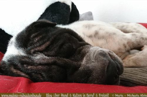 Rabaukenbande Hunde Katzen Blog Tiere Shar Pei Arbeit Freizeit Buero , Dackel Hundetreffen Pflege Krankheit Schilddruese Futter Gassi Beschaeftigung Ruhe