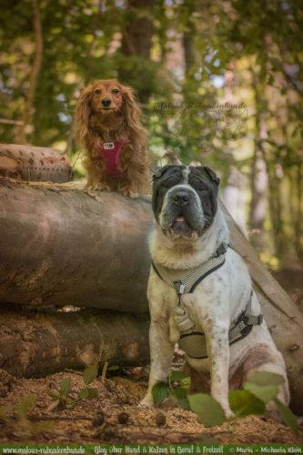 Rabaukenbande Hunde Katzen Blog Tiere Shar Pei Arbeit Freizeit Buero , Dackel Hundetreffen Pflege Krankheit Schilddruese Futter Gassi Beschaeftigung harmonie