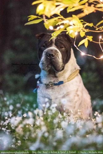 Rabaukenbande Hunde Katzen Blog Tiere Shar Pei Arbeit Freizeit Buero , Dackel Hundetreffen Pflege Krankheit Schilddruese Futter Gassi Beschaeftigung wertblicke