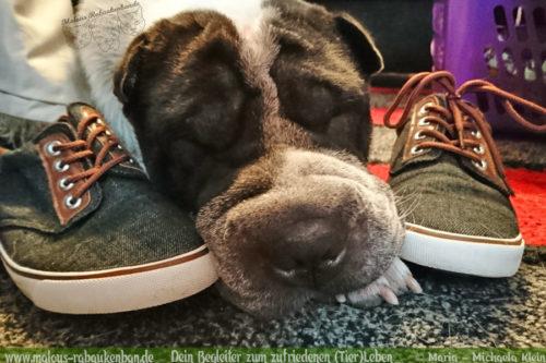 Rabaukenbande Hunde Katzen Blog Shar Pei Freizeit Arbeit Kater Zufrieden Leben-Aufraeumen Saeubern Schuhe Schlafen Ruhe Ausgleich Hundeleben
