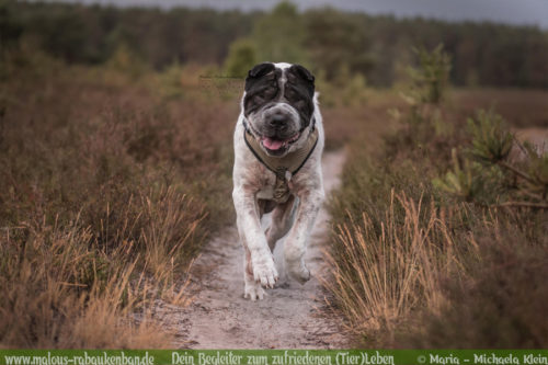 Rabaukenbande Hunde Katzen Blog Shar Pei Freizeit Arbeit Kater Zufrieden Leben-Wandern Spazieren Spaziergang mit Hund unterwegs Heide Wald Fotografieren Freilauf