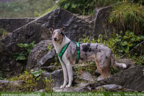 Collie Treffen im Urlaub in Bayern-Hundeblog Shar Pei blue merle Hund Fotografie Hundefoto Steine Freundschaft