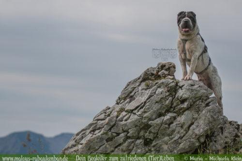 Hundeblog Wandern mit Hund in Bayern-Urlaub Reise Klettern Shar Pei Wendelstein Ruffwear Geschirr als Hilfe Hundefotografie