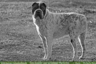 Schilddruesenunterfunktion beim Hund Erfahrung Krankheit-Tierblog Rabaukenbande mit Shar Pei Diagnose Symptome Behandlung Tablettengabe 3 Monate