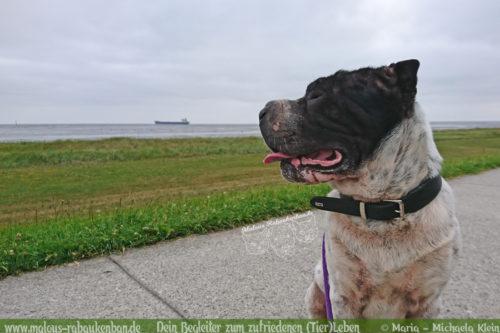 Urlaub in Cuxhaven mit Hund an der Nordsee-Hunde am Meer Shar Pei auf Deich Spaziergang an der See Hundeblog für zufriedenes Leben