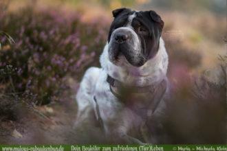 Fotografie Nordsee Hundetreffen Shar Pei Leben mit Hund Blog Blogger-Rabaukenbande fuer Hunde Katzen Tiere Bilder in der Heide Niedersachsen Cuxhaven