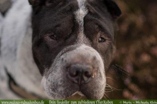Fotografie Nordsee Hundetreffen Shar Pei Leben mit Hund Blog Blogger-Rabaukenbande fuer Hunde Katzen Tiere Bilder mit Handy Niedersachsen Portrait