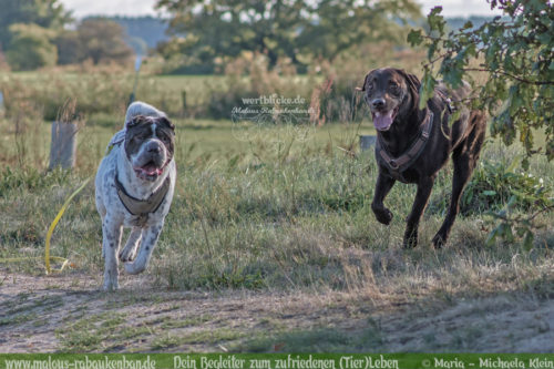 Tagebuch eines Hundes Shar Pei Urlaub Reise mit Hund Haustier-Rabaukenbande Tier Blog Krankheit Fotografie Katzen Labrador Schoko liebe Best Buddies Retriever