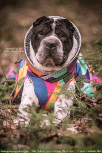 Rabaukenbande Hund Tier Katze Kater blog Erziehung glueckliches artgerechtes Leben - Gesundheit Magendrehung Wald Spaziergang Mantel Pomppa Shar Pei