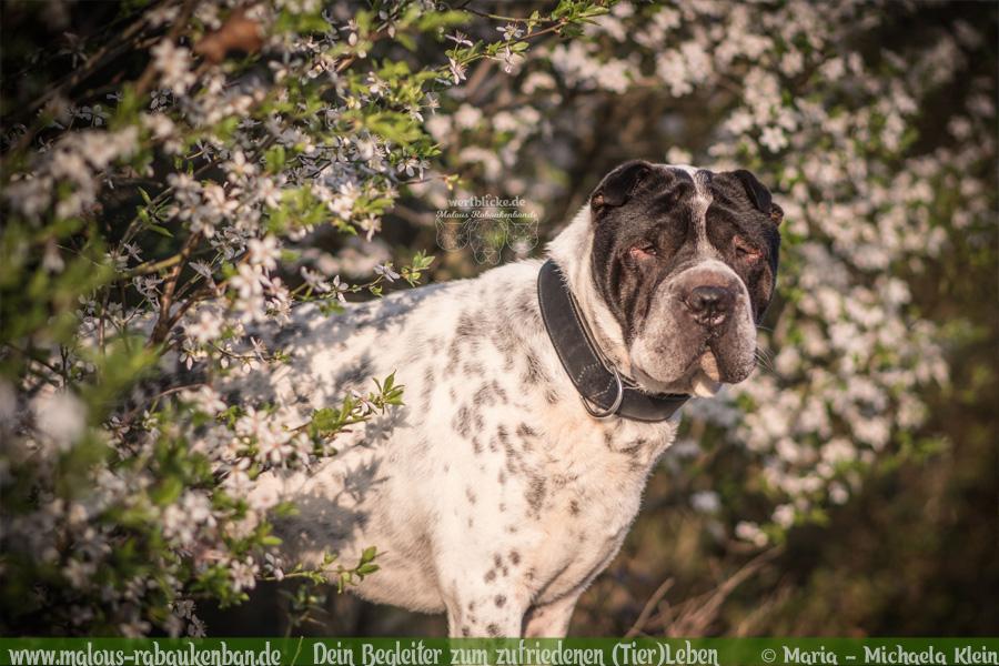 Hunde Blog Haus Tier Glueck Zufriedenheit Artgerechtes Leben Malous Rabaukenbande-Tagebuch Shar Pei Fotografie Kamera Nikon Fruehling Shooting
