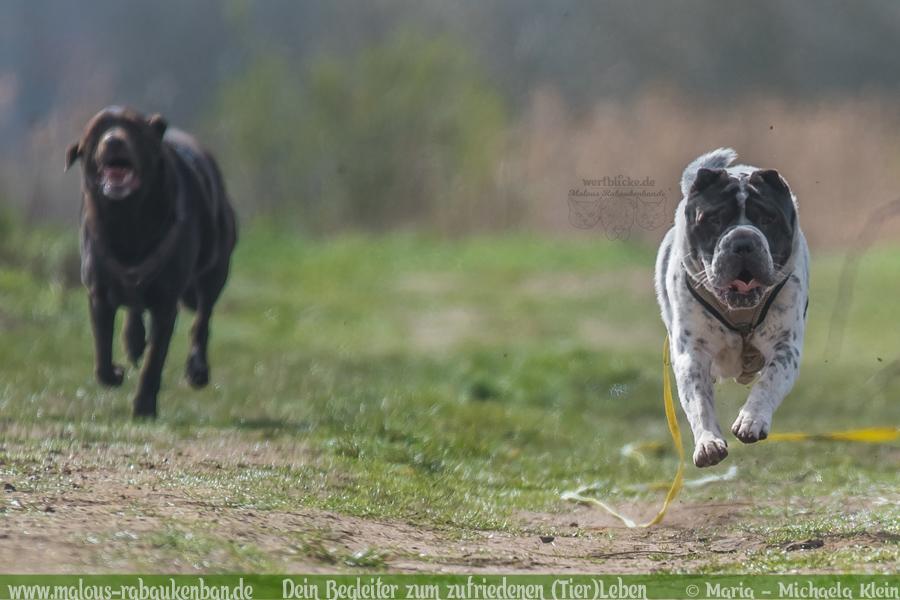 Hunde Blog Haus Tier Glueck Zufriedenheit Artgerechtes Leben Malous Rabaukenbande-Tagebuch Shar Pei Labrador Retriever Hundetreffen Action Bewegung Fotografie Quality time