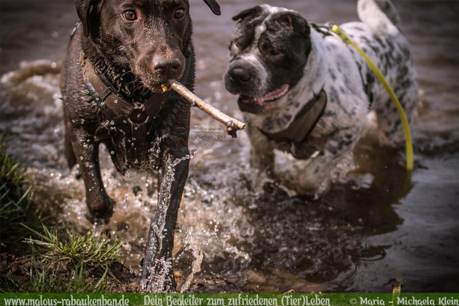 Hunde Blog Haus Tier Glueck Zufriedenheit Artgerechtes Leben Malous Rabaukenbande-Tagebuch Shar Pei Labrador Retriever Hundetreffen Action Bewegung Fotografie Wasser Fluss