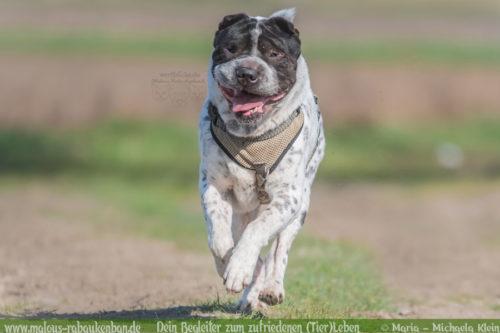Hunde Blog Haus Tier Glueck Zufriedenheit Artgerechtes Leben Malous Rabaukenbande-Tagebuch Shar Pei Labrador Retriever Hundetreffen Action Bewegung Quality time Fotografie