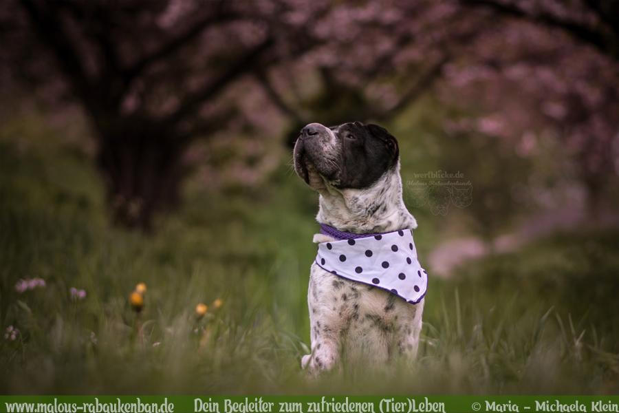 Rabaukenbande Shar Pei Hund Tier Katze Kater blog Erziehung Tipps Alltag Spass - Freiburg Harz Brocken Bahn Ausflug Urlaub Blumen Tagebuch