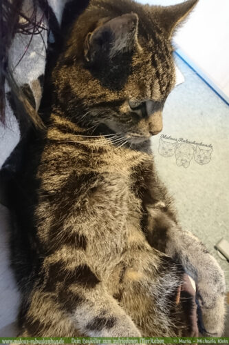 Haus Tiger Blog Hunde Katzen Glueck Zufriedenheit Artgerechtes Leben Malous Rabaukenbande-Gruende gegen fuer Katzen Adoption Haltung Allergie Bediensteter Kaputt Kosten Gesundheit faulpelz