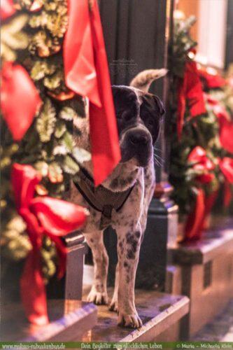 Dezember Tagebuch 2019 Geschichten aus dem Leben Tipps-Xmas Weihnachten Shar Pei-Hunde Blog Haltung Haustier Rabaukenbande Erziehung Training Wandern Urlaub