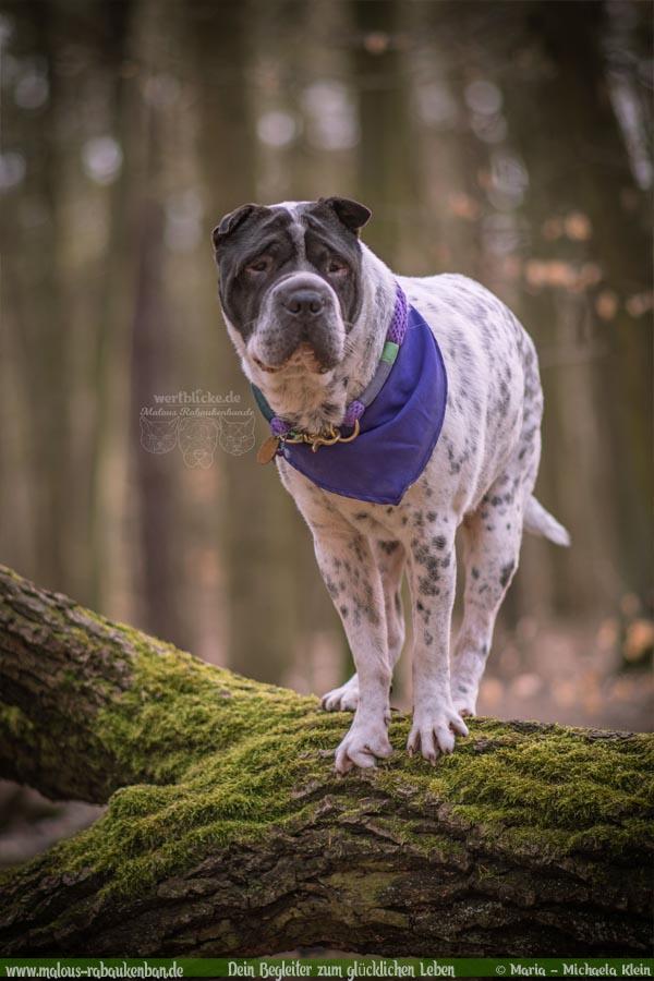 Maerz Tagebuch 2019 Geschichten aus dem Leben Tipps-Shar Pei Berlin-Hunde Blog Haltung Haustier Rabaukenbande Erziehung Training Wandern Urlaub