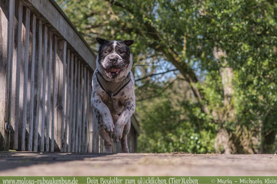 Mai Tagebuch 2019 Geschichten aus dem Leben Tipps-Shar Pei in Action-Hunde Blog Haltung Haustier Rabaukenbande Erziehung Training Wandern Urlaub